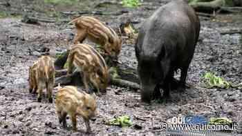 Cinghiali e cervi: è invasione in Val Menaggio dove indisturbati devastano i giardini delle case - QuiComo