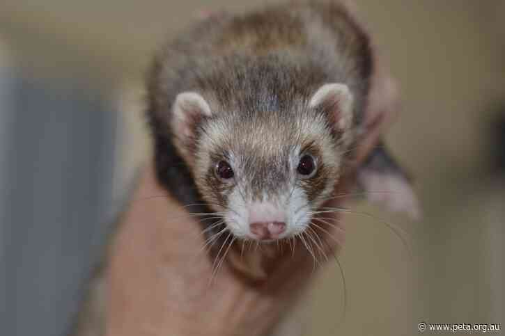 Australia Tests Possible COVID-19 Vaccine on Ferrets While US Moves Straight to Human Trials