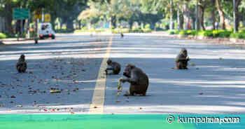 Foto: Lockdown, Kawanan Monyet Liar Berkeliaran di Jalanan New Delhi - kumparan.com - kumparan.com