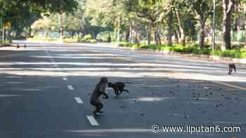 FOTO: Lockdown, Monyet-Monyet Berkeliaran di Jalanan New Delhi - Liputan6.com