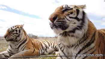 Sanctuary fears for animals featured in Netflix hit 'Tiger King'