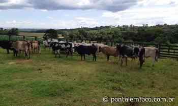 34 bovinos furtados em Prata são recuperados em Goiatuba após intenso trabalho da PCMG - Pontal Emfoco