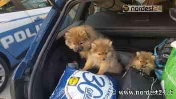 Trieste. Controlli: sequestrati 3 cuccioli al valico di Fernetti - Nordest24.it