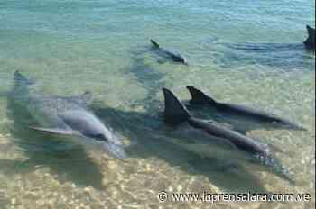 Delfines toman la orilla de Pampatar durante la cuarentena - La Prensa de Lara
