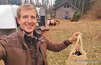 Suche nach dem entlaufenen Stier Ferdinand dauert an - Passauer Neue Presse