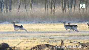 Canis lupus: Schnappschuss: Wolf bei der Jagd in Hamburg gesichtet