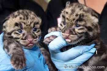 Cuteness alert: Zoo Miami shows off clouded leopard kittens