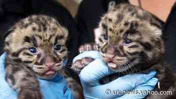 Zoo Miami shows off rare clouded leopard kittens