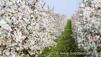 Obstbauern fürchten Ernteausfälle durch Frost - Süddeutsche Zeitung