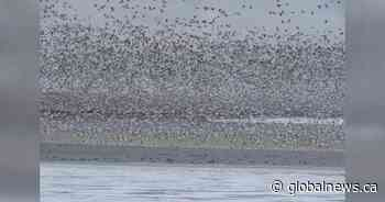 Lethbridge bird watcher spots goose with Russian background among estimated 60,000 birds