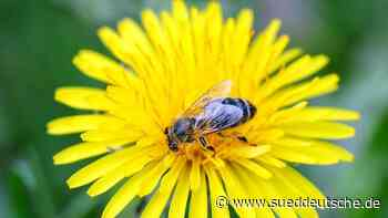 Nabu: Bei der Gartenarbeit Rücksicht auf Wildbienen nehmen - Süddeutsche Zeitung