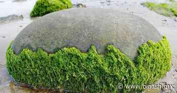 Algas marinas, antídoto contra cáncer, diabetes y anemia - Big Fish