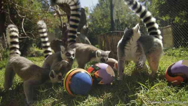 Animales del Buin Zoo celebraron con huevos de Pascua, pese a cierre por el Covid-19