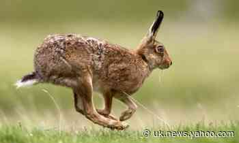 Leap of faith: ancient Britons viewed hares and chickens as gods
