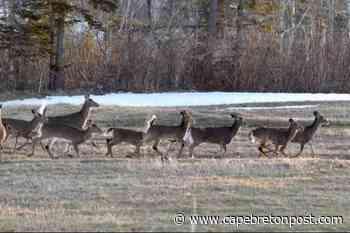 Have you herd? Deer a regular sight in Westmount - Cape Breton Post