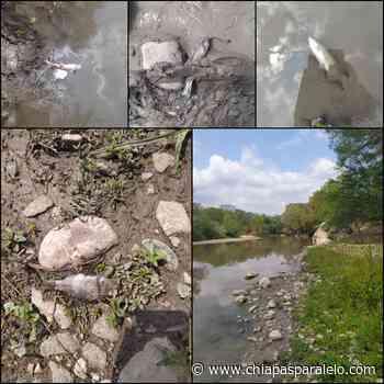 Registran muerte masiva de peces en Río Suchiapa - Chiapasparalelo