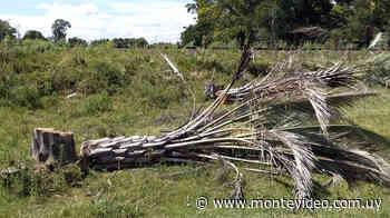 Vecinos de Guichón advierten por tala de ejemplares de palmeras Yatay - Montevideo Portal