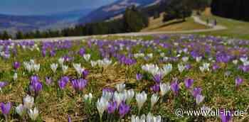 Frühling: Farbenpracht am Hündle: Krokosblüte verwandelt Wiese in Blütenteppich - all-in.de - Das Allgäu Online!