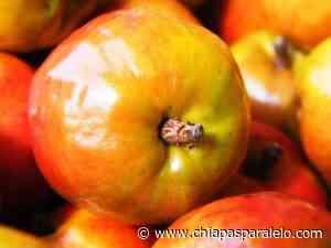Los jocotes más dulces Chiapas son de Huixtla y Mazatán - Chiapasparalelo