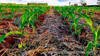 Falta de chuvas em Assis Chateaubriand/PR já causa perda de 45% no milho e situação pode se agravar ainda mais - Notícias Agrícolas