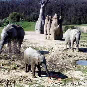 Anniversaire. L'éléphanteau Makeba fête ses 3 ans à Plaisance du Touch - Toulouseblog.fr