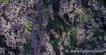The Defiant Beauty of Cherry Blossom Season