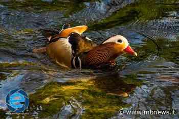 Villasanta, le anatre mandarine tornano numerose a vivere nella Roggia. - MBnews