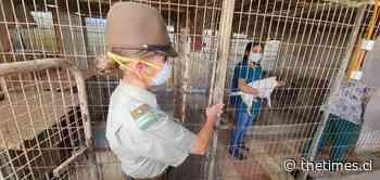 Carabineros rescata cerca 50 canes en cautiverio en Peñaflor - THE TIMES CHILE