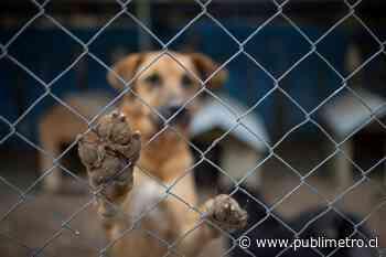 Grave maltrato animal en Peñaflor: en criadero clandestino se incautaron 80 perros - Publimetro Chile