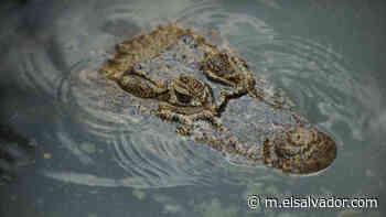 Medio Ambiente rescata en Nahuizalco un lagarto con una de sus extremidades delanteras mutilada - elsalvador.com