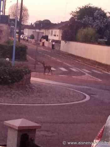 Un chevreuil aperçu en train de gambader en ville à Tergnier - L'Aisne Nouvelle