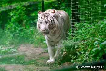 Animaux - Malgré le confinement, la vie continue au ZooParc de Beauval - La République du Centre