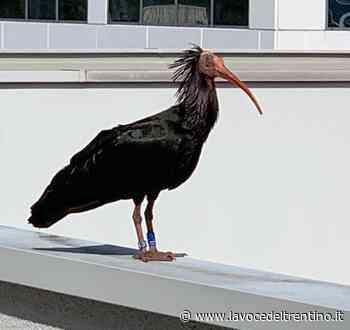 L'Ibis eremita torna a Mattarello - la VOCE del TRENTINO
