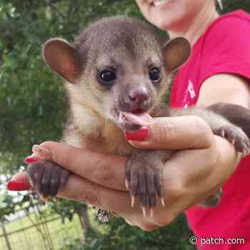 Baby Kinkajou Male and Female Available - Lower East Side-Chinatown, NY - Patch.com