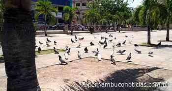 Humor: até os pombos da Praça da Matriz estão com medo do coronavírus - Pernambuco Notícias