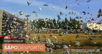Covid-19: Pombos ajudam a combater isolamento social, diz Federação de Columbofilia - SAPO Desporto