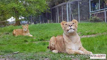 Confinement : des lives avec les animaux du ZooSafari de Thoiry - sortiraparis