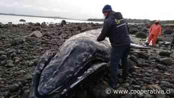 Investigan muerte de ballena jorobada en costas de Calbuco - Cooperativa.cl