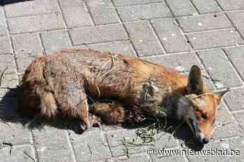 Petitie tegen 'heksenjacht' na vondst van verminkte vos op weiland