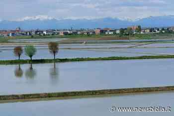 Contro il parassita del riso arrivano 197mila euro. A Mottalciata e Gifflenga riscontrati i primi focolai - newsbiella.it