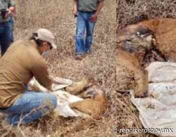 Profepa investiga caza furtiva de pumas en Tixkokob y Cacalchén - Reporteros Hoy