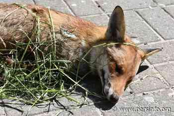 Verminkte vos gevonden in Galmaarden - Persinfo.org