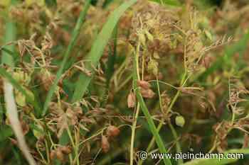 La Lentille blonde de Saint-Flour recherche producteurs du Puy-de-Dôme - Pleinchamp