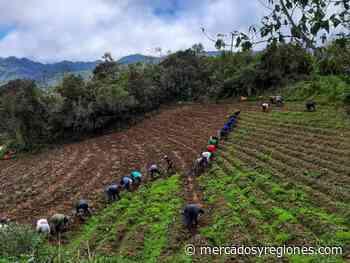 Cajamarca: agricultores de Celendín logran cosechar 25 toneladas de papa - Mercados & Regiones