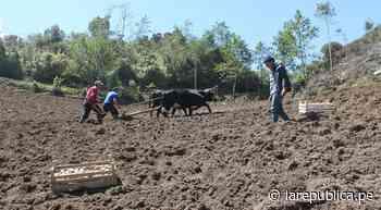 Coronavirus: agricultores de Celendín logran cosechar 25 toneladas de papa - LaRepública.pe