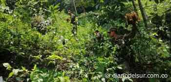 En Otanche, Boyacá, 15.597 plantas de coca fueron erradicadas - Diario del Sur