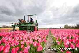 Nieuwsfoto's: Tulpen eerder gekopt - Boerderij