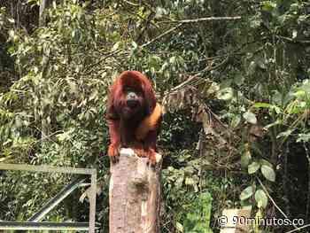 Mono aullador encontrado en zona rural de Vijes fue entregado a la CVC - 90 Minutos