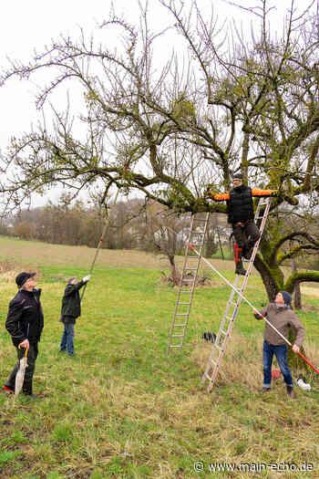 Streuobst in Gefahr: Landschaftspflegeverband hat in Sailauf eine Mistel-Bekämpfungsaktion gestartet - Main-Echo