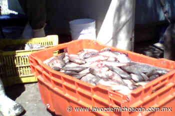 Aumenta la producción pesquera en el Lago de Chapala - La Voz de Michoacán